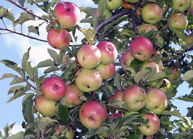 Сорт яблука Макінтош