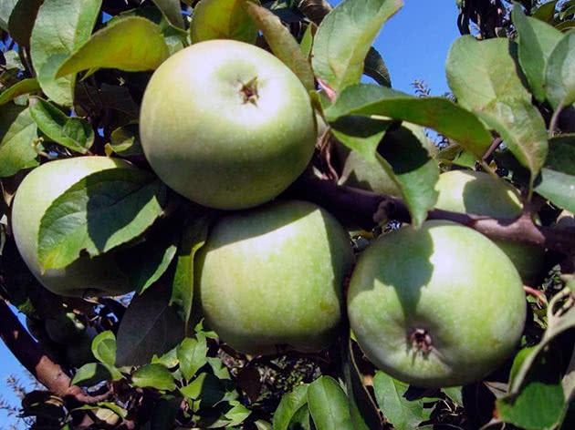 Сорт яблука Ренет Симиренка