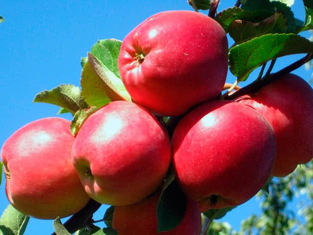 Сотр яблока Перлина Києва