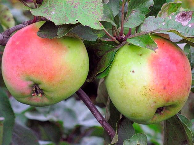 Сорт яблука Сінап Орловський