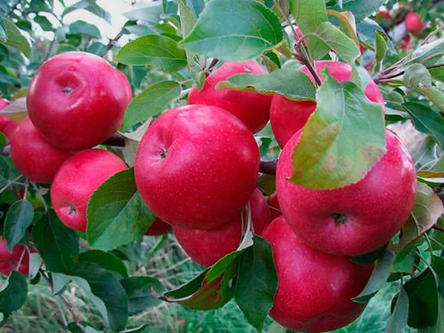Сорт яблука Айдаред