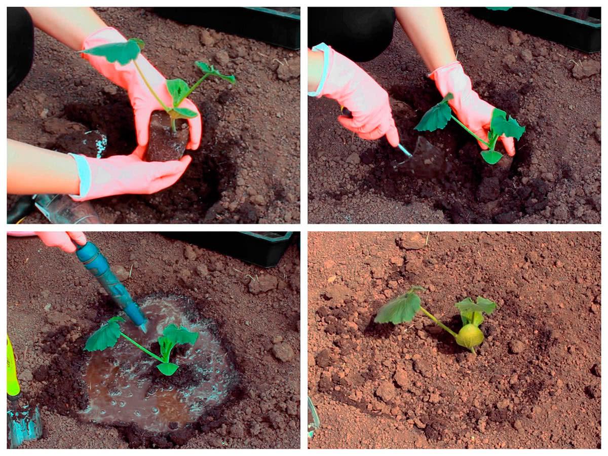 Посадка кабачков и подкормка зелёным удобрением