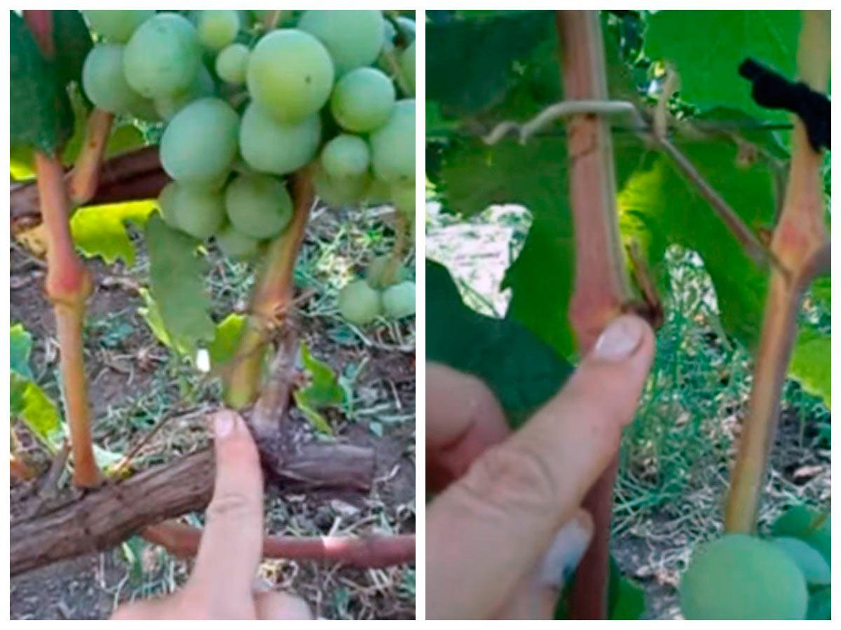 Пасынкование жирующего винограда